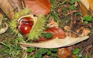 chestnut-199355_960_720