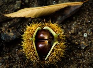 chestnut-1017484_1280