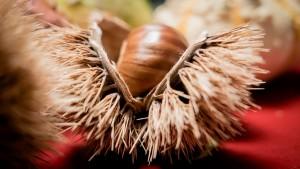 chestnut-1943459_1280